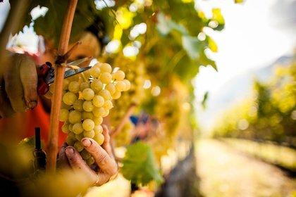 In Alto Adige più acidità e aromi