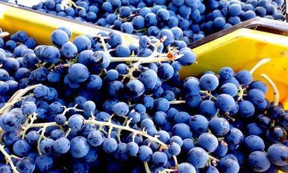 Festa della Vendemmia - Castelfranci Wine Festival