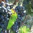 Festa del Vino a Caldaro