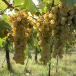 Lugana:The Italian white wine of greater success