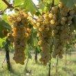 Lugana: un vino bianco Italiano da esportazione