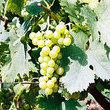 Vini veneti, anche senza il nome Tocai rimangono l'eccellenza e la qualità