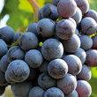 Féta di Résen, festa dell'uva a Chambave in Valle d'Aosta